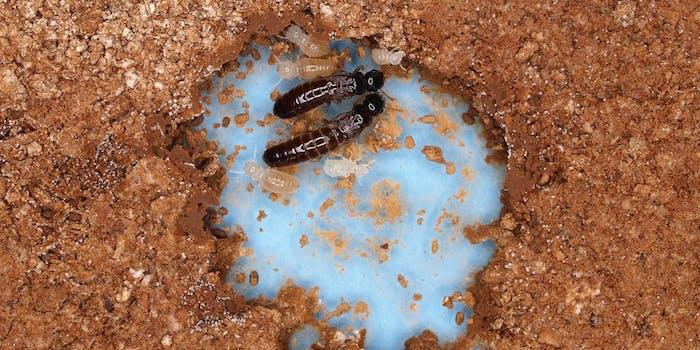 Glyptotermes nakajimai termites