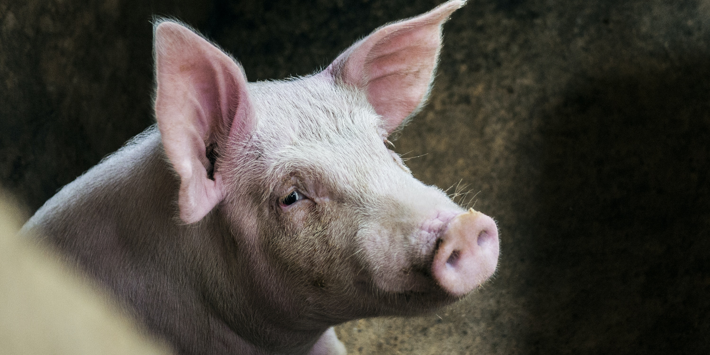 Pigs Were Slaughtered, Then Scientists Revived Their Brains 4 Hours Later