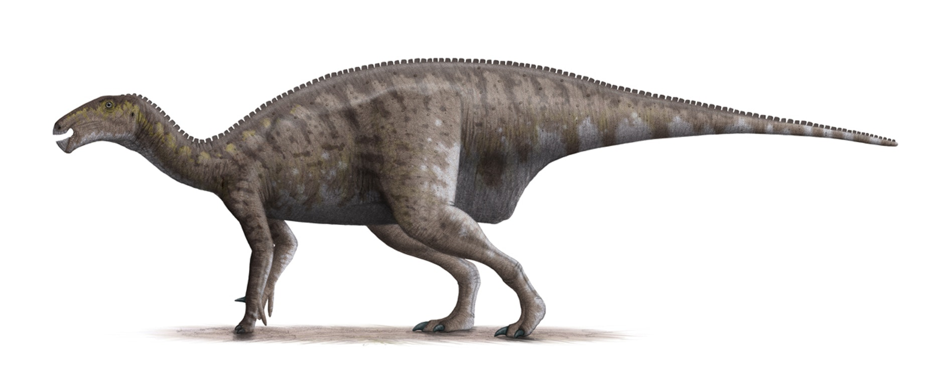 Based proportionally on a skeletal drawing by Gregory Paul (2008). • This was for a long time classified Iguanodon atherfieldensis.