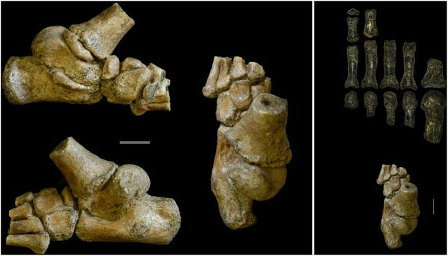 Dikika toddler foot