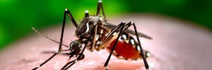 This 2006 photograph depicted a female Aedes aegypti mosquito while she was in the process of acquiring a blood meal from her human host, who in this instance, was actually the biomedical photographer, James Gathany, here at the Centers for Disease Control. The feeding apparatus consisted of a sharp, orange-colored 'fascicle' that was covered in a soft, pliant sheath called the 'labellum' while not feeding. The labellum was shown here retracted as the sharp 'stylets' contained within pierced the host's skin surface, thereby, allowing the insect to obtain its blood meal. The orange color of the fascicle was due to the red color of the blood as it migrated up the thin, sharp translucent tube. When viewed in cross-section, the larger of the two needle-sharp stylets, known as the 'labrum', takes on the shape of an inverted 'V', and acts as a gutter, which directs the ingested host blood towards the insect's mouth.