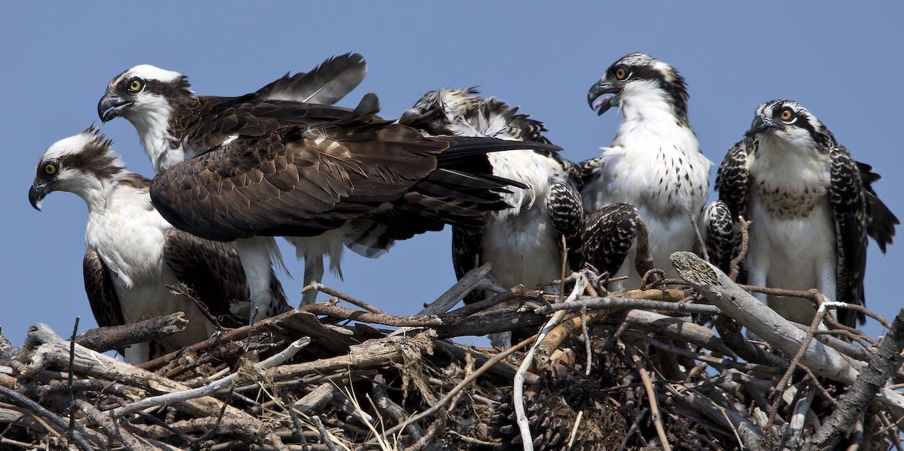 Osprey birds -  Fort Monroe Va