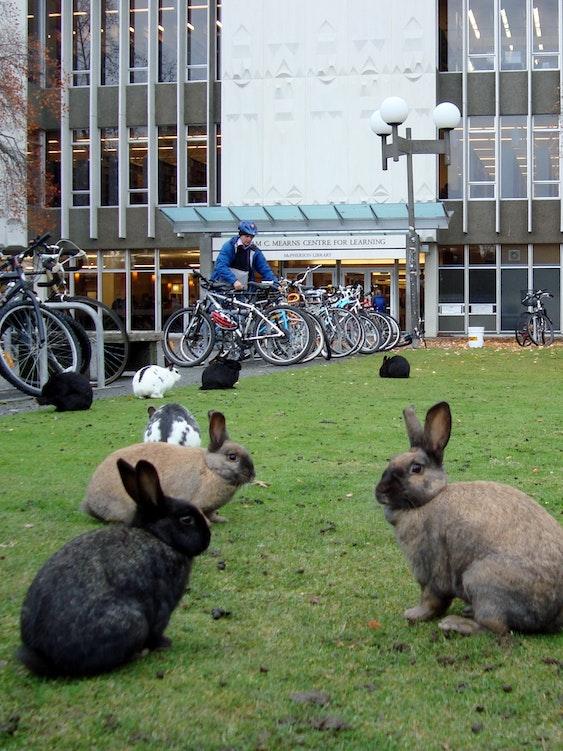 UVIC rabbits