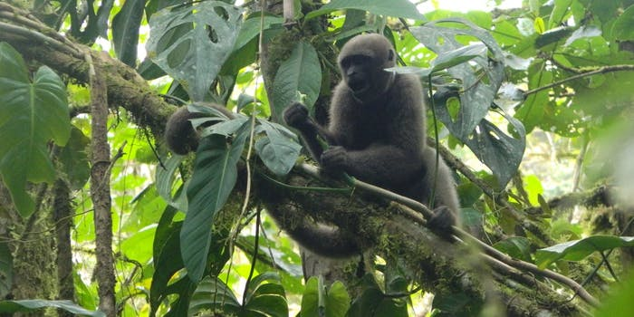 woolly monkeys