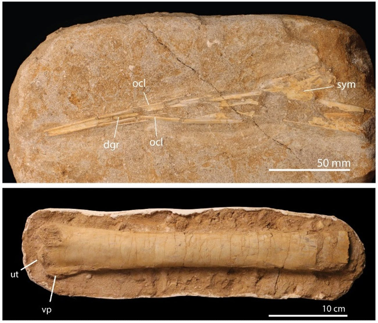 pterosaur fossils