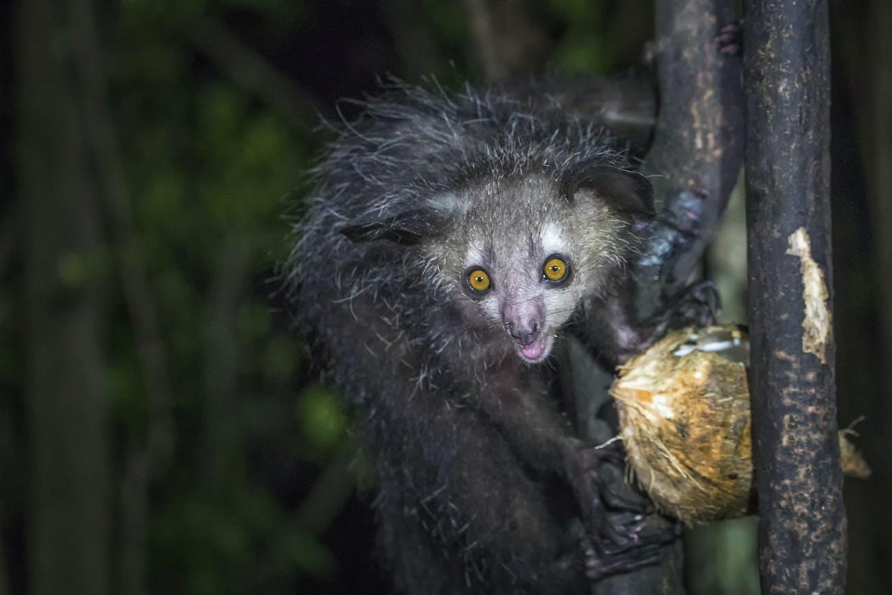 aye-aye holds a coconut