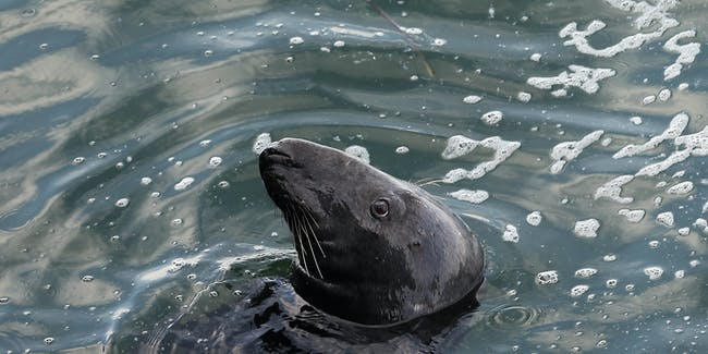 A seal waits for fish scraps near a fishing pier on Cape Cod on August 12, 2012 in Chatham, Massachusetts. A man was confirmed to have been bitten by a great white shark less than two weeks ago in the ocean near the shoreline of Truro in Cape Cod.
