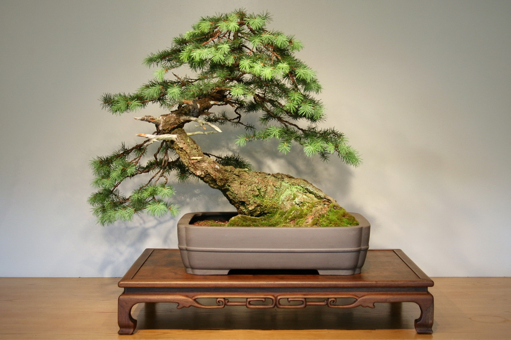 This Douglas fir has been cultivated for 20 years as a bonsai. It is very unlike a Christmas tree.