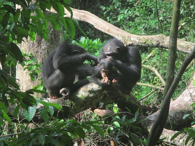 grooming chimps
