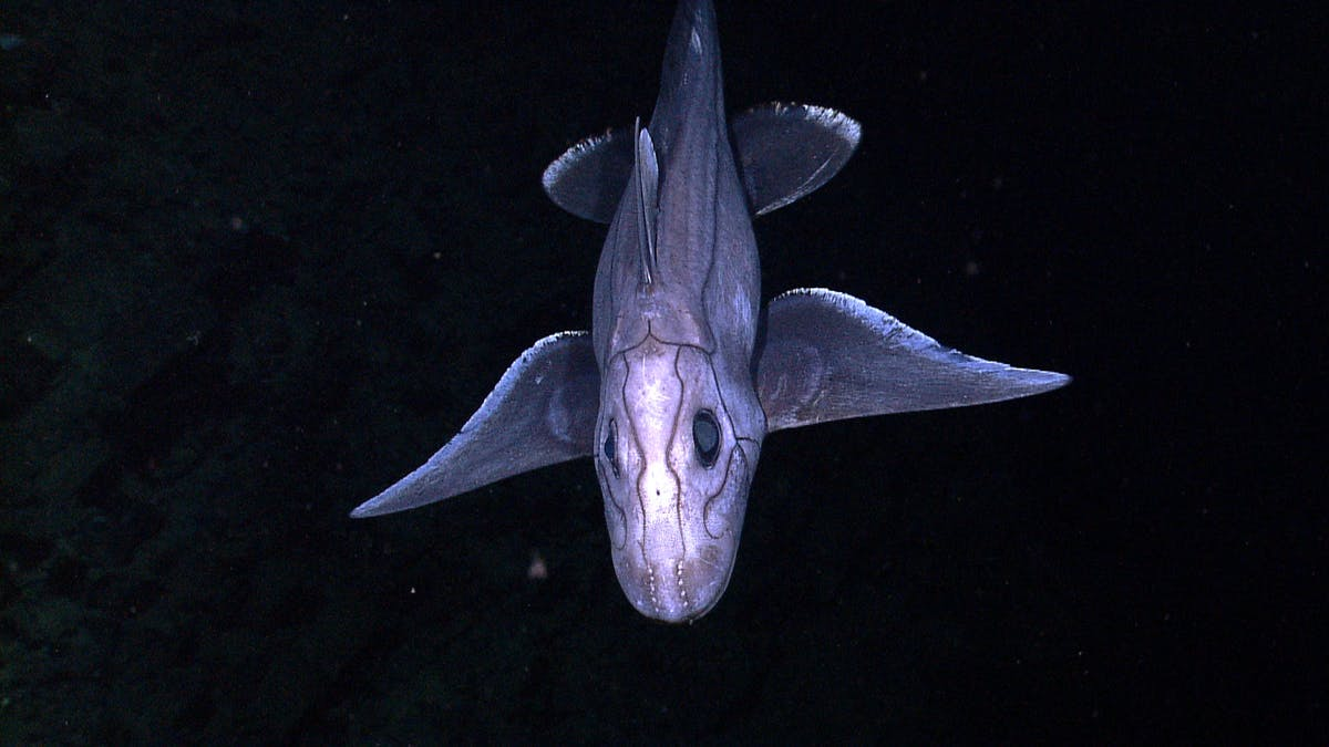 A deep-sea Chimaera. Chimaera's are most closely related to sharks, although their evolutionary lineage branched off from sharks nearly 400 million years ago, and they have remained an isolated group ever since. Like sharks, chimaera's are cartilaginous and have no real bones. The lateral lines running across this chimaera are mechano-receptors that detect pressure waves (just like ears). The dotted-looking lines on the frontal portion of the face (near the mouth) are ampullae de lorenzini and they detect perturbations in electrical fields generated by living organisms.