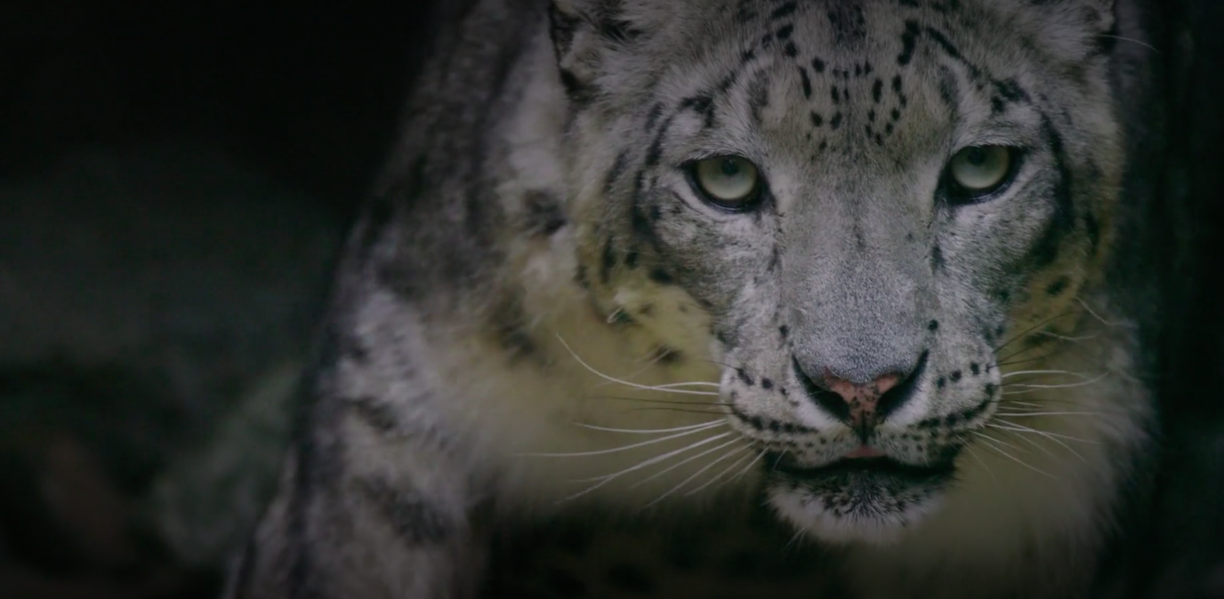 The snow leopard has rarely ever been captured on film in the wild.