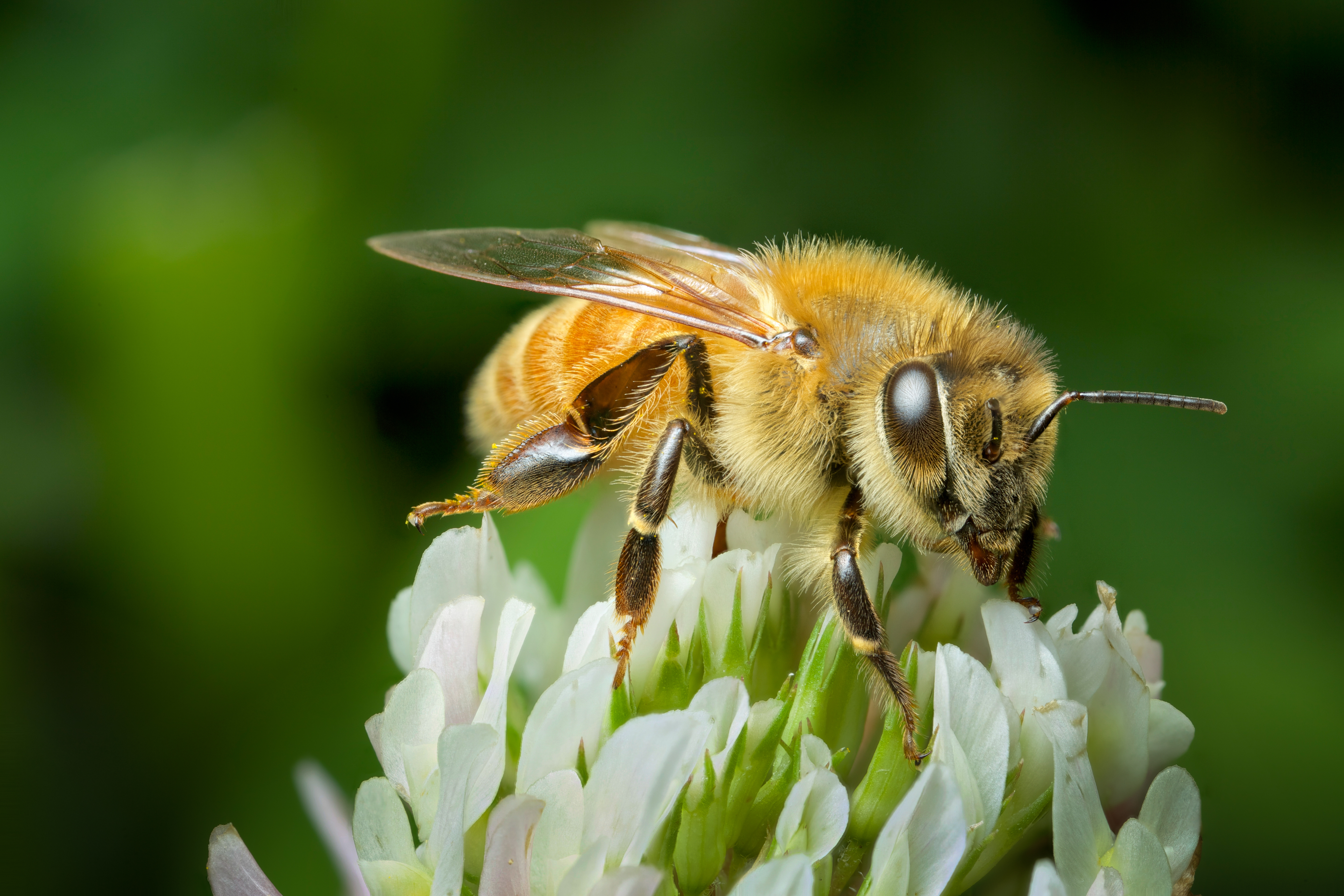 The components of bee venom that have been studied include melittin, adolapin, and apamine.