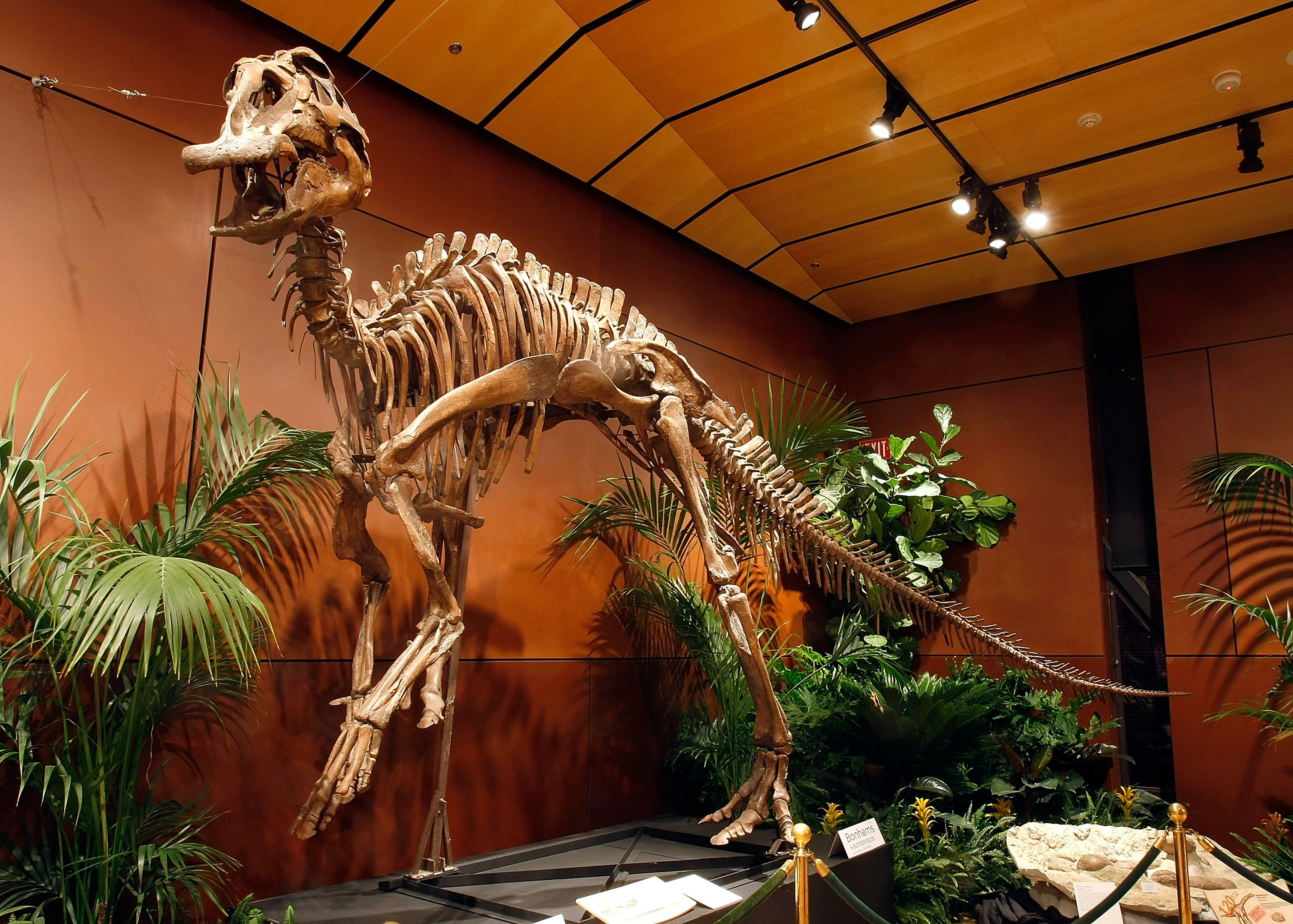 This particular hadrosaur is actually on display in Las Vegas.