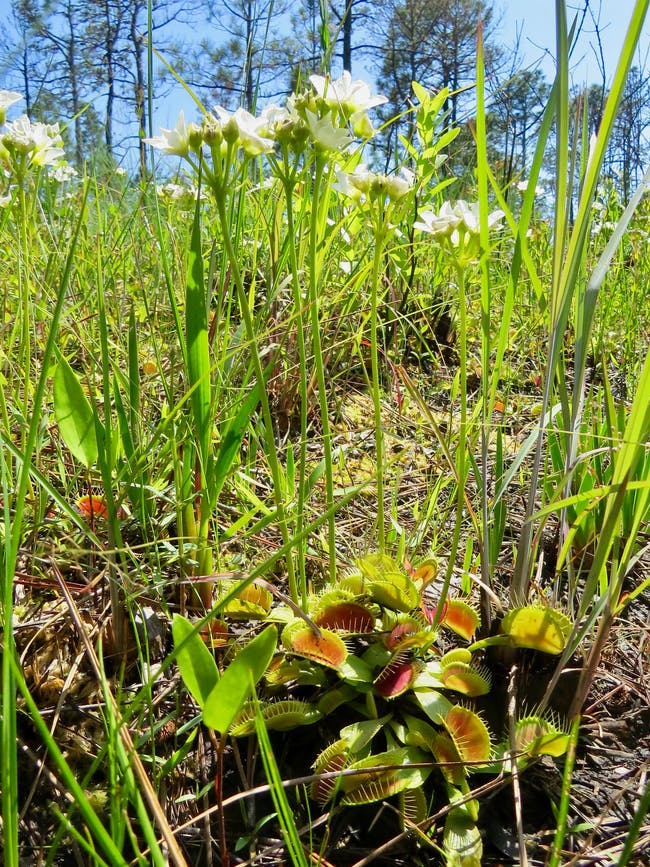 When we think of the Venus flytrap, we usually think about the traps. But now researchers are focusing on the plant's flowers.