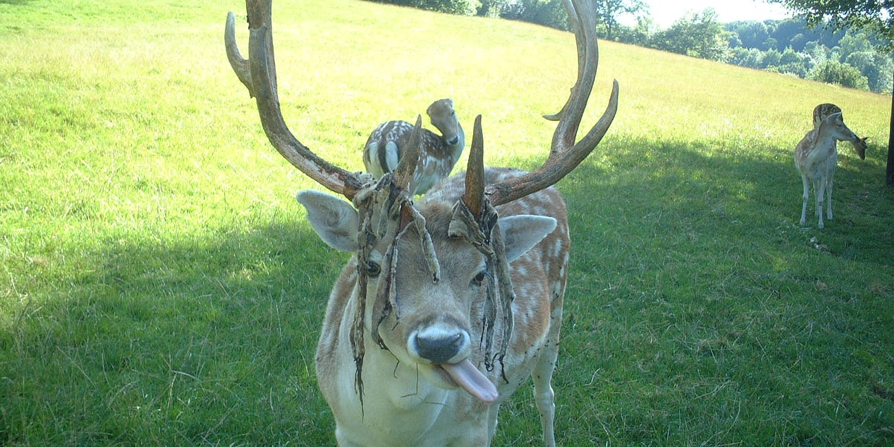 are deer antlers key to peak health not in the way putin hopes