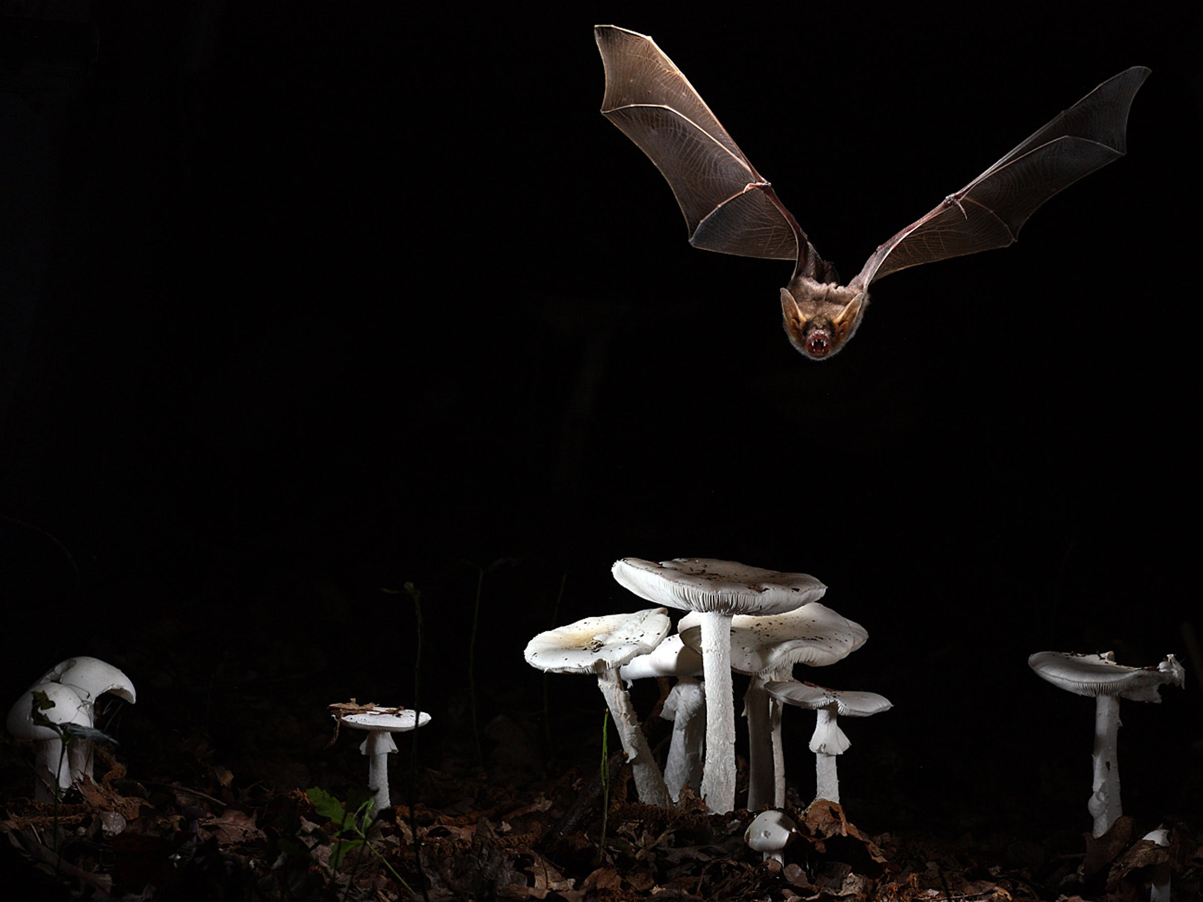 myotis myotis bat longevity telomeres