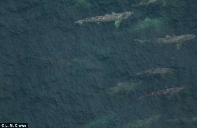 basking sharks gathering in swarms of up to 1 400 leave scientists