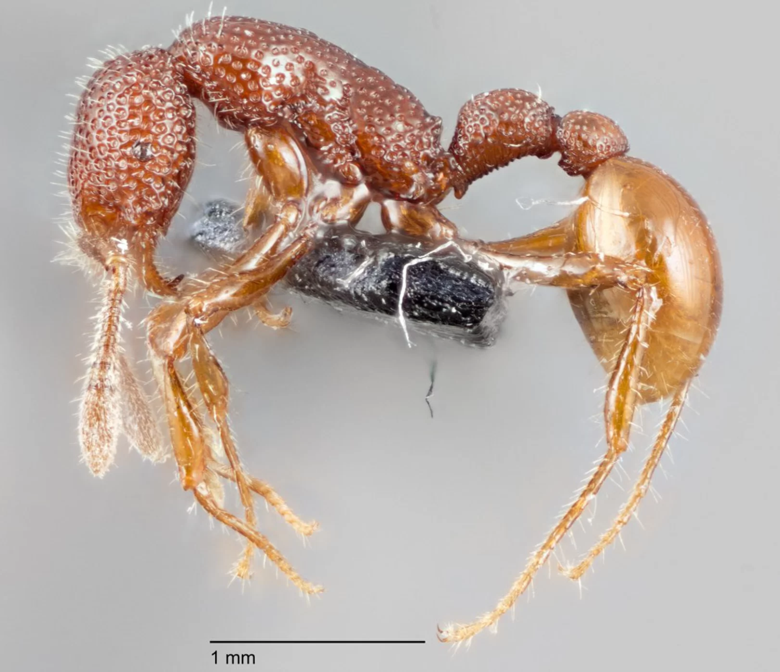 Rex' ants discovered in Singapore