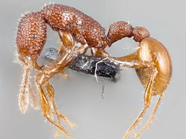 Humans Just Got the First Glimpse of a Live T. Rex Ant