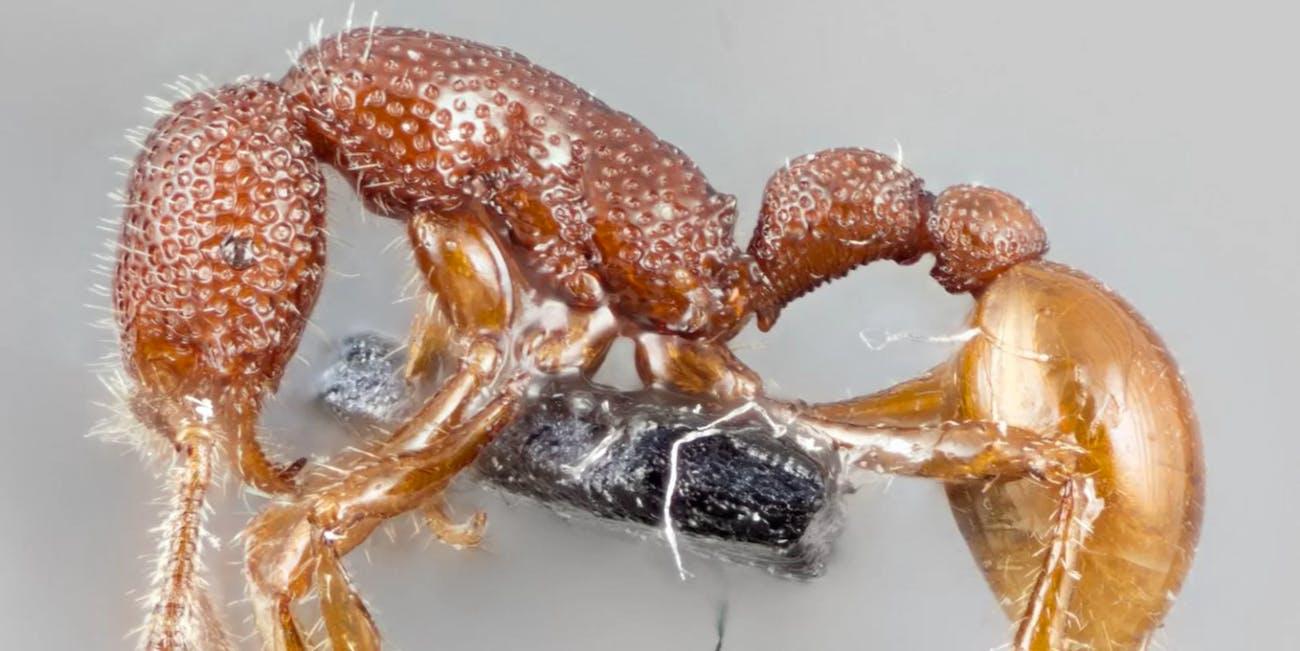 Tyrannomyrmex rex ant