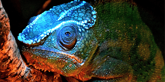 The panther chameleon (Furcifer pardalis) has bony tubercles that shine through its skin under UV light.