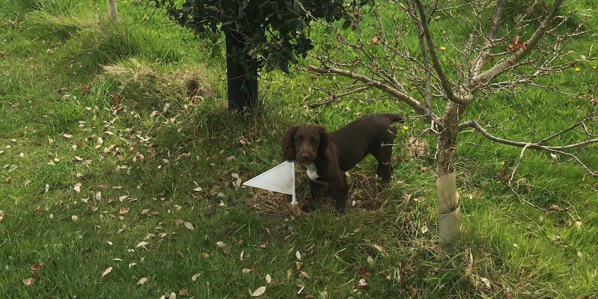 truffle pupper
