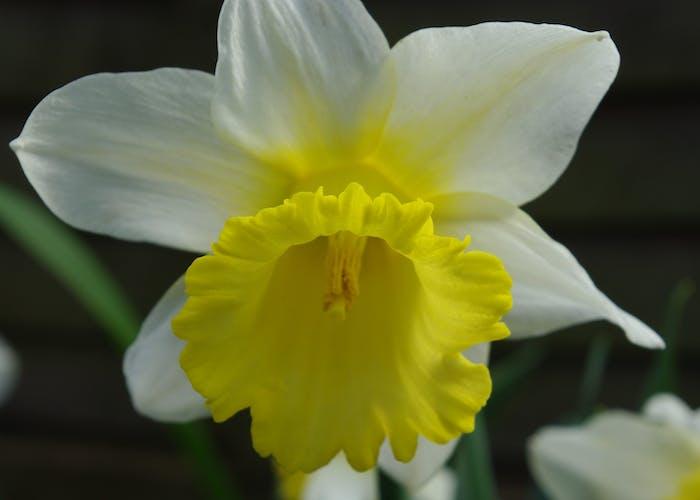 18-162  Daffodil