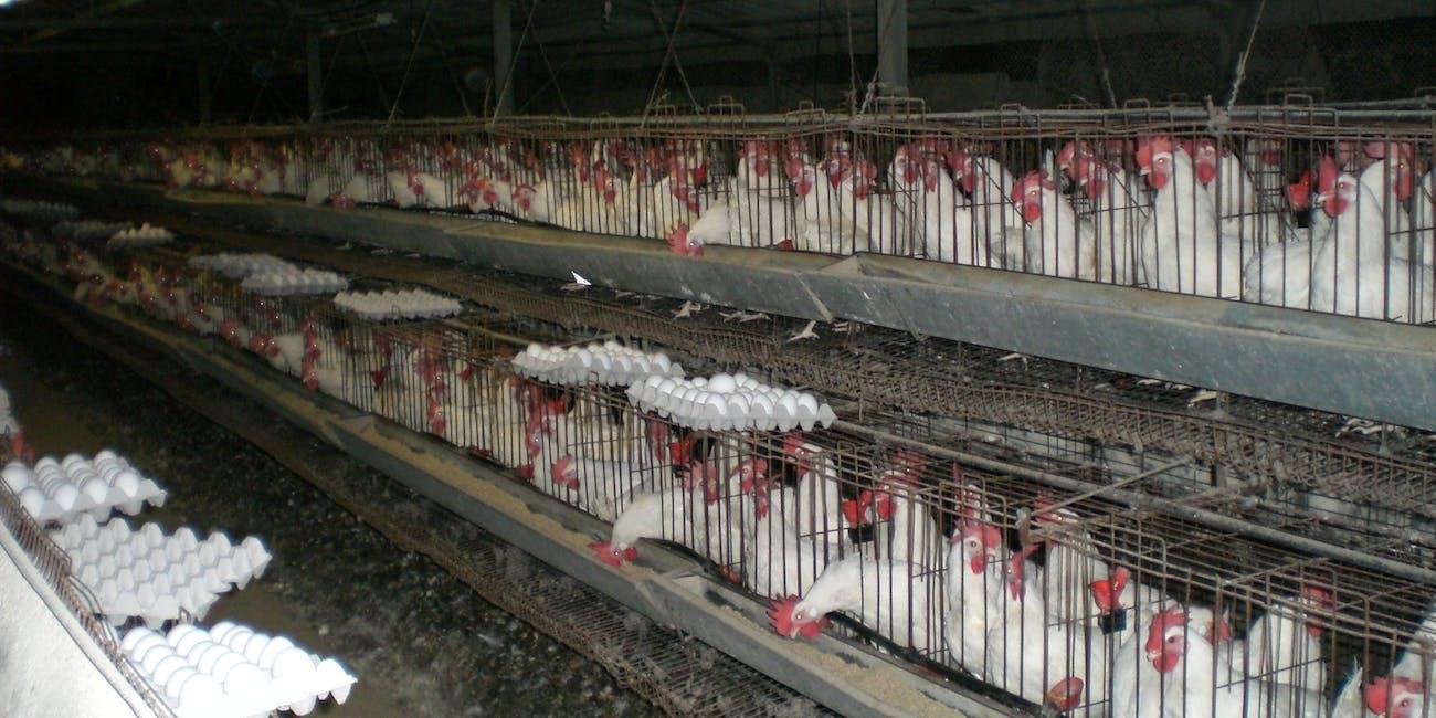 Industrial battery chicken farm.