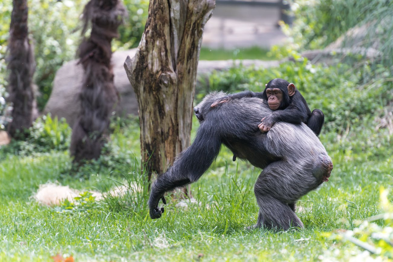 Little Chimp Climbing on Back